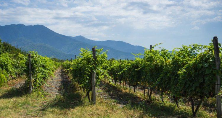 Kakheti vineyards