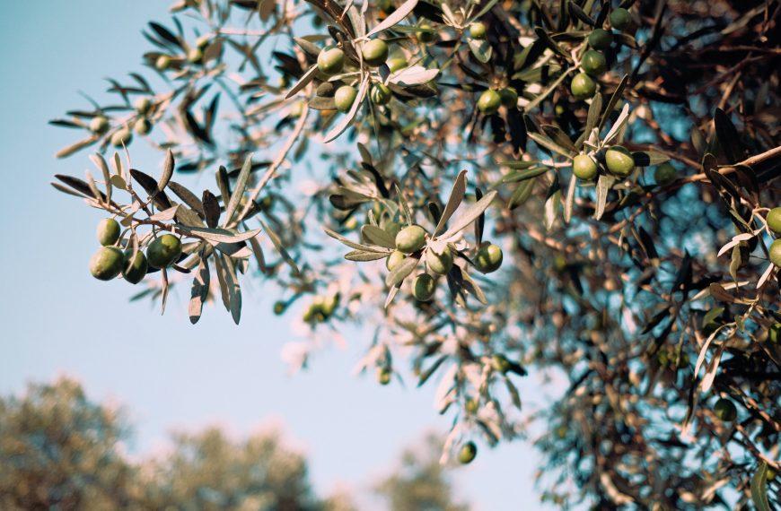 Croatia's Award-Winning Olive Oils