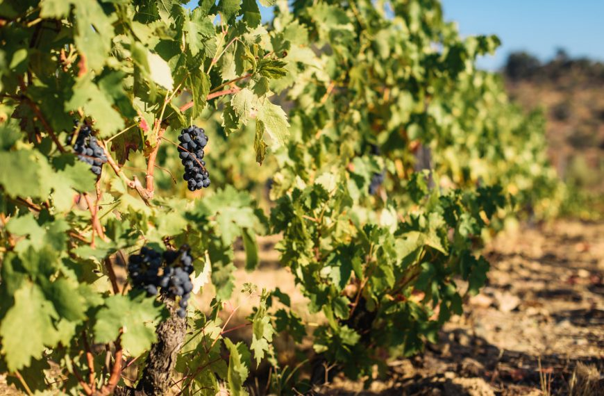 Meet Plavac Mali, Croatia's Most Popular Grape