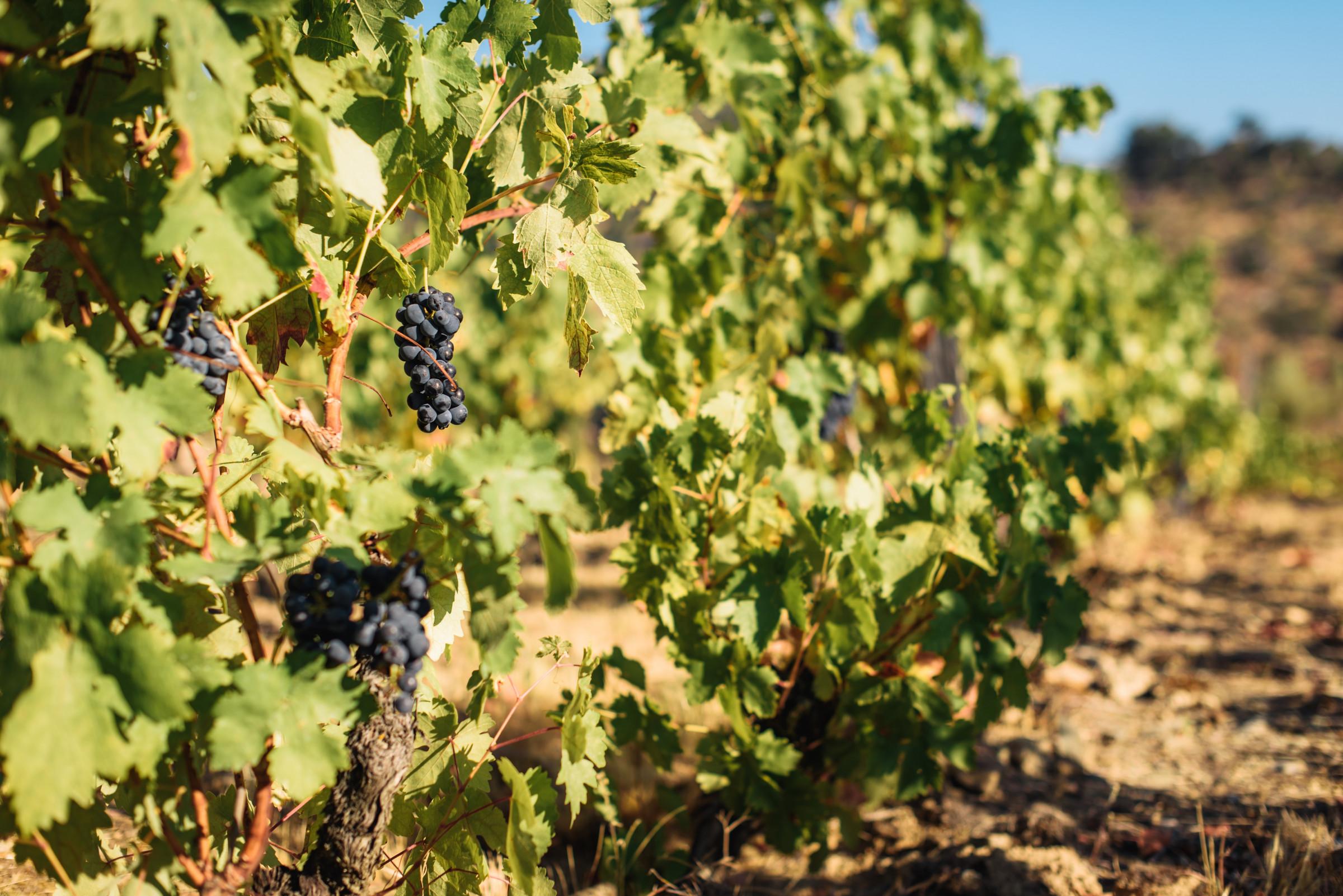 Meet Plavac Mali, Croatia's Most Popular Grape